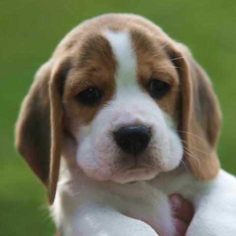 A Beagle Puppy Boomer  A Shilliington Beagle